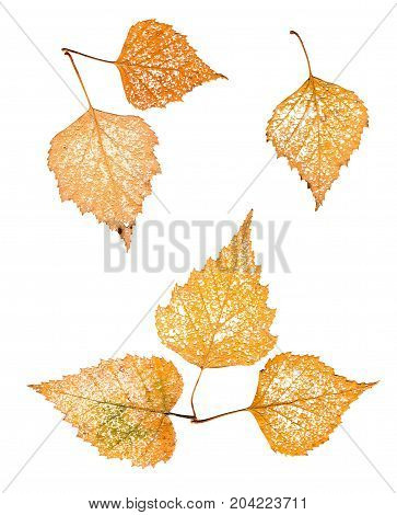 Dry Leaf Skeleton Macro Close Up Isolated