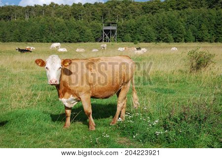 Cattle in a nature reserve with a birdwatching tower at the swedish island Oland