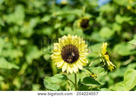 sunflower with bee with blue sky background close up view