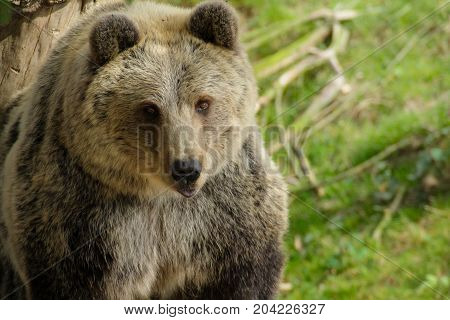 Face big grizzly bear in nature d