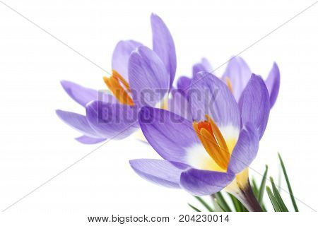 Flower Crocus Tricolorisolated On White Background