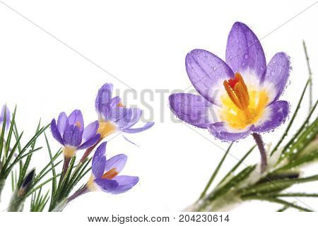 Beautiful spring flower Crocus Tricolor in the Iris family macro with narrow focus