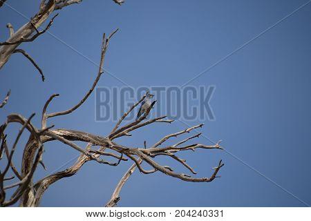 a mountain bluebird perched on a bald tree
