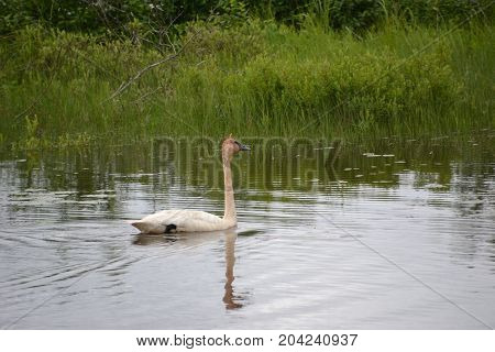trumpeter swans are native to seney national wildlife refuge in northern michigan