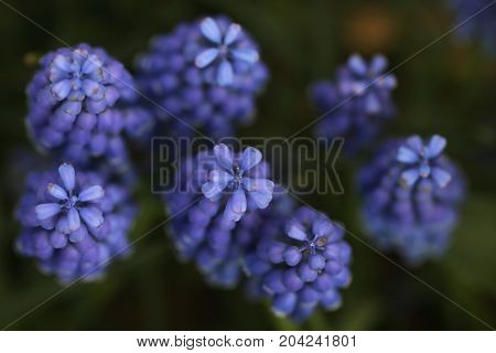 Closeup image of lavender flowers in the garden. soft focus