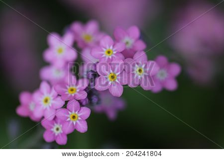 Close up Pink Forget-me-not flower. soft focus