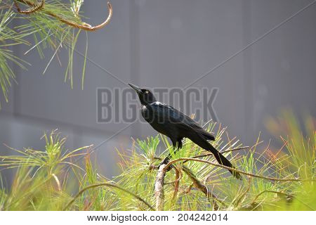 great tailed grackle perched in a tree