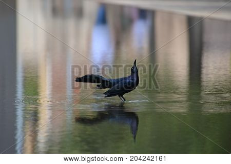 great tailed grackle wading in shallow water