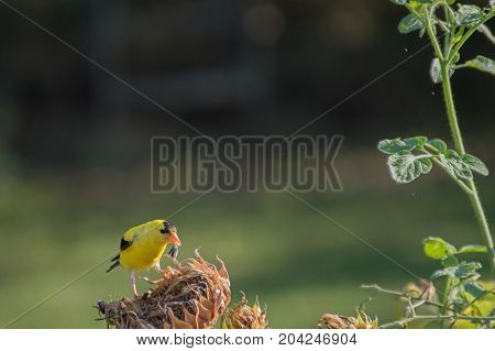 A beautiful yellow goldfinch enjoys some dried out sunflower seeds on a summer day in Missouri. The photographer used a bokeh effect to highlight the bird.