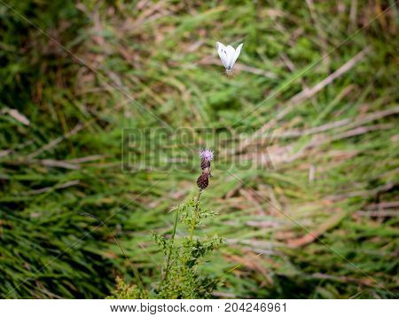 Flying Small White Butterfly Above Pink Milk Thistle In Green Field - Pieris Rapae
