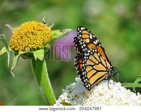 Monarch butterfly on a white flower in garden on bank of the Lake Ontario in Toronto Canada September 12 2017