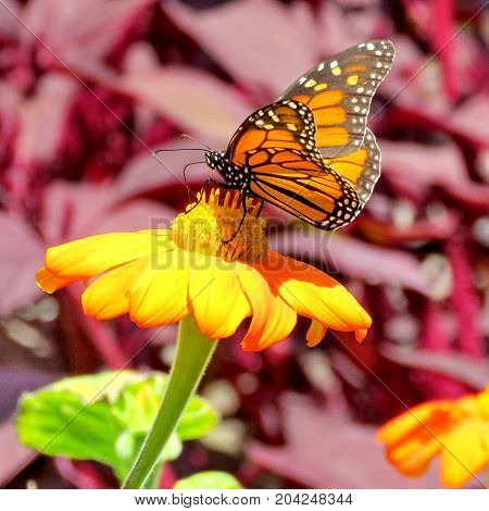 Monarch butterfly on a yellow flower in garden on bank of the Lake Ontario in Toronto Canada September 12 2017