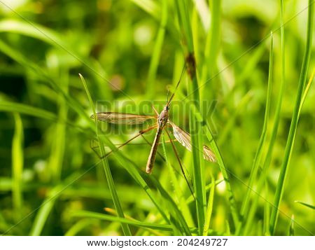 Daddy Long Legs Crane Fly Tipulidae Close Up