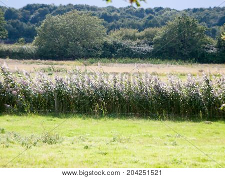 Close Up Of Shining Grass Reed Tops In Summer Field