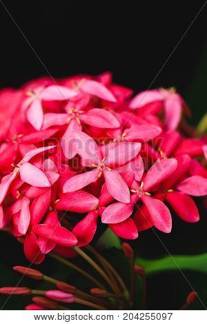 Pink flower spike Rubiaceae Ixora coccinea in the garden
