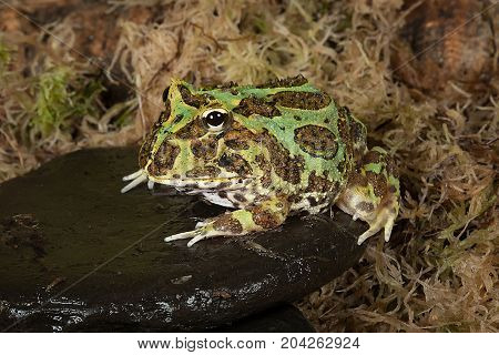 full length portrait of a bull frog sitting on a pebble by a pond edge