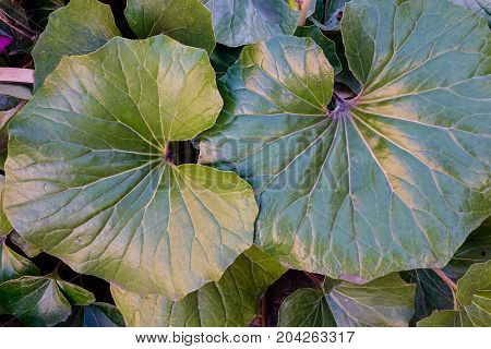Small Taro Plants At Japanese Garden