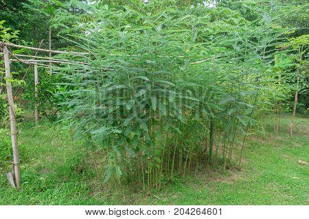 Plant Of Humming Bird Sesban Agasta Sesbania Grandiflora Agasta Sesban Or Dok Kae In Thai