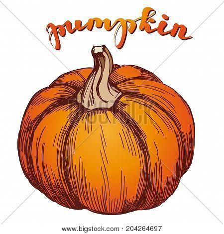 Pumpkin vegetable hand drawn vector illustration sketch