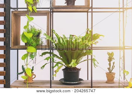 Green Plant Bird Nest Fern Pot To Home Decoration On Metal Shelf