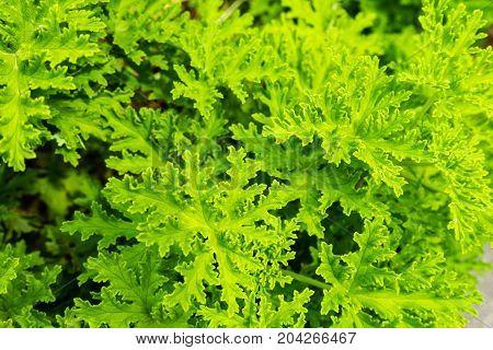 pelargonium graveolens geraniaceae plant from south africa leaf close up macro