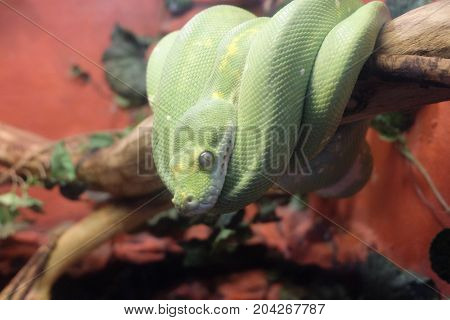 Green Snake on a sticksnake, green, reptile, animal, wildlife, danger, stick, wild, viper, aggression, dangerous, health, medical, nature, symbol, isolated, poison, brown, eye, head, looking, venom, venomous, white, zoology python sign pit aggressive anti