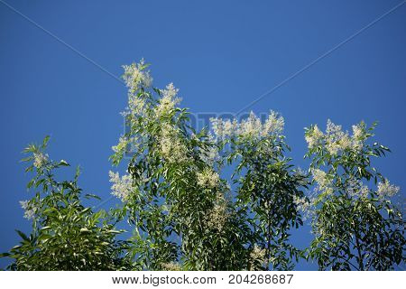 White Flower In Blue Sky Or Fraxinus Griffithii Tree