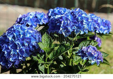 Head of blue hortensia flower in summer garden