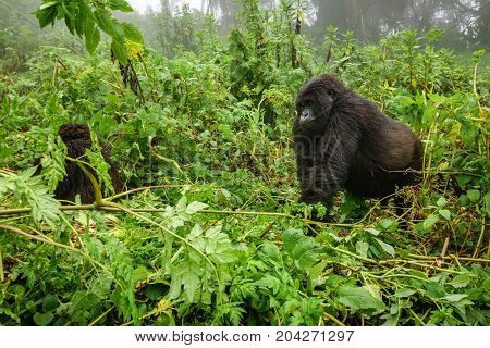 Profile of mountain gorilla walking in the forest