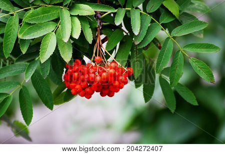 Rowan tree close-up. Juicy red Rowan berries among the green leaves.