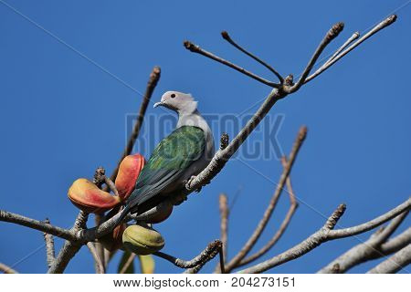 Beautiful and colourful pigeon on a tree in Indonesia, green and grey pigeon on the blue backgraound, wild birds in indonesia