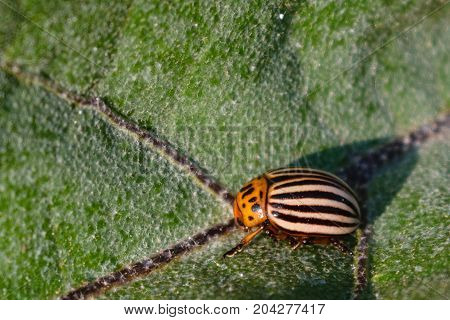 colorado potato beetle (Leptinotarsa decemlineata) feeding on green leaf - farming bug pest