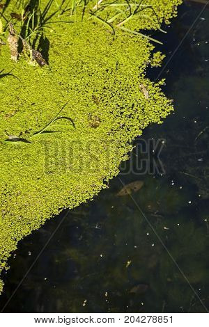 Duckweed on the pond. Water surface with plants close-up.