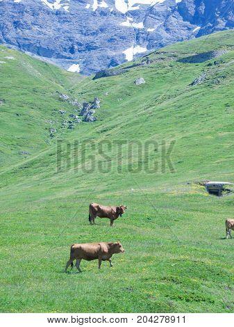 Grazing cows in mountain alpine green landscape