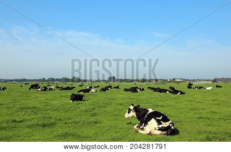 many cows grazing in prairie in summer