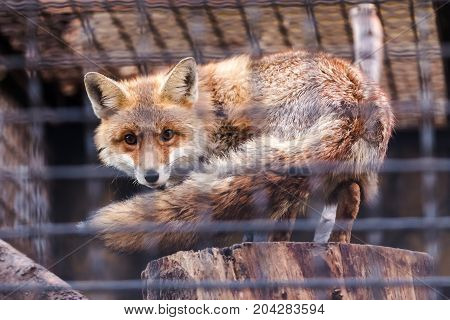 Foxes Behind Bars