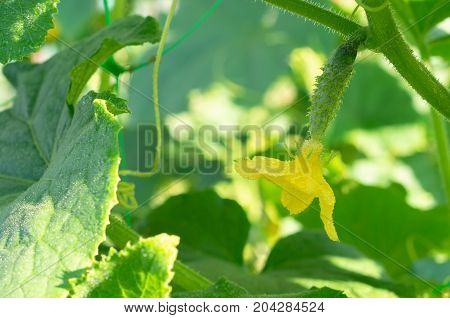 Yellow flower and a small cucumber in the sun