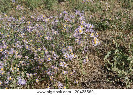 Asters alpinus or Alpine asters purple or lilac flowers. Purple flowers like a daisy in flower bed.