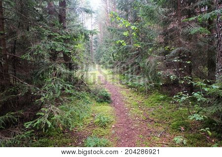 The trail in a pine forest forest, trail, landscape,