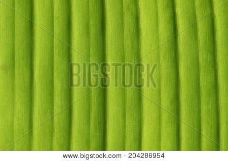 Banana tree leaf closeup natural background texture.
