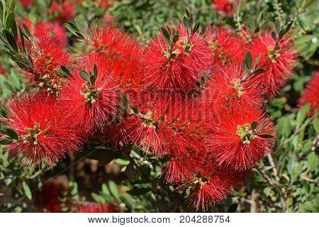 Callistemon bottlebrush plant with red flowers. Nature background.