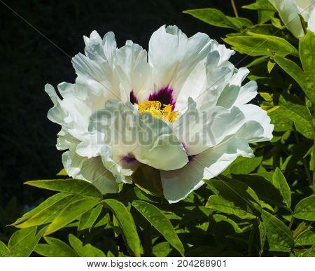 Beautiful white peonies in the garden. peonies