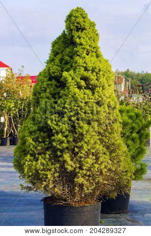 Picea glauca Conica dwarf decorative coniferous evergreen tree. White spruce green tree in pot.