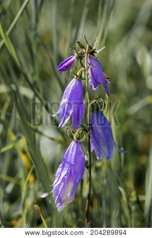 Purple flowers of the wide-leaved bellflower (Campanula latifolia)