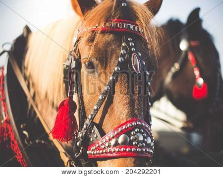two beautiful brown horses wearing harnesses for fair