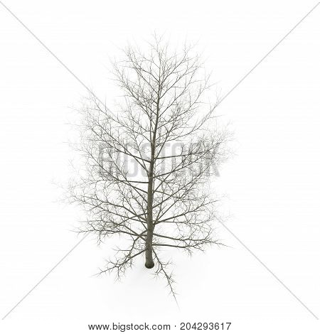 large poplar tree without leaves. Isolated over white background. 3D illustration