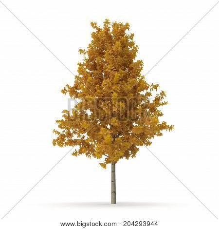 Young Yellow Poplar tree isolated on white background. 3D illustration