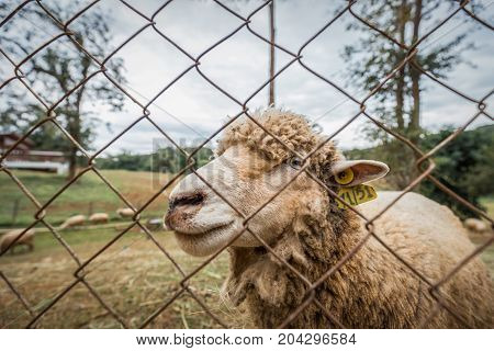 Close focus on smiling face of farming sheep through the cage. Sheep's hair dirty by dust.