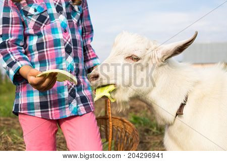 Child Of Russian Girl Feed Goat Fresh Cabbage In Rural Close Up. Care Goat.