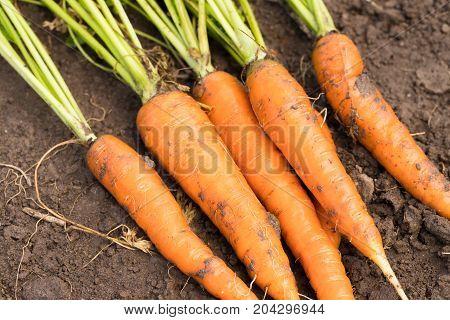 Carrot. Fresh Ripe Orange Carrots On Ground Top View. Seasonal Harvest.